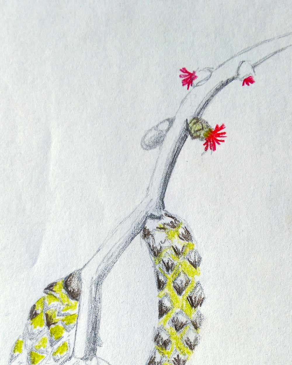 Tekening van Corylus avellana met vrouwelijke bloemen.