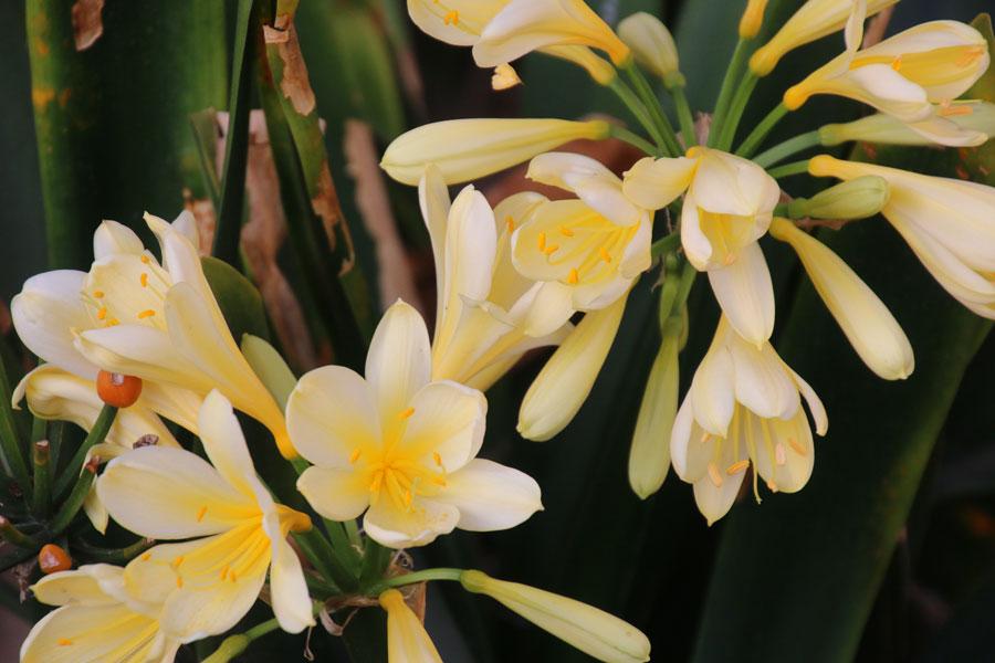 Gele Clivia