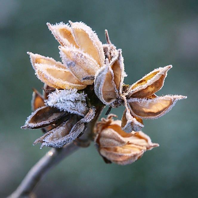 Hibiscus zaaddoos