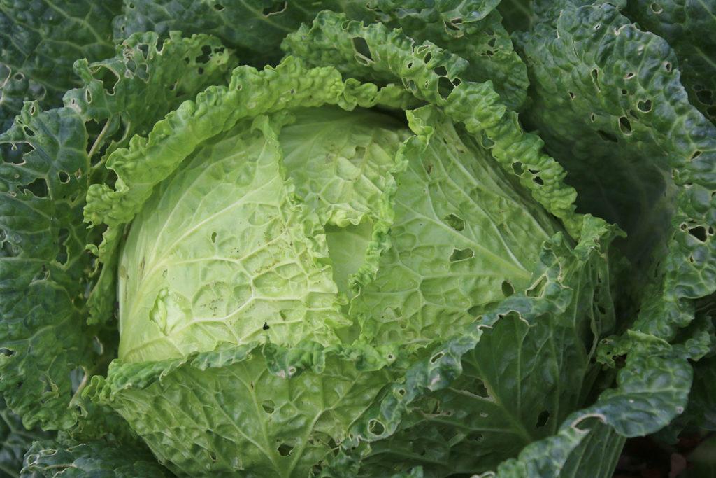 Groene kool uit mijn groentetuin.