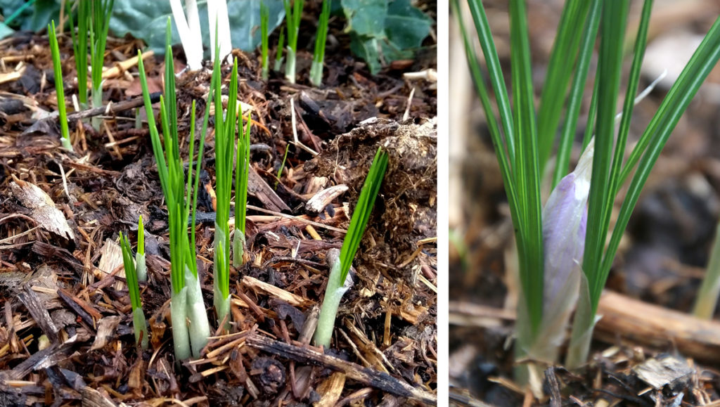 Saffraan krokus die net begint te groeien.