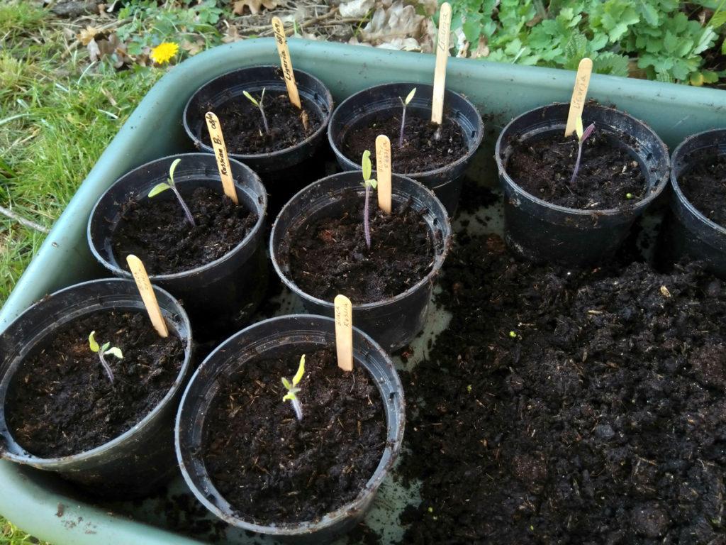 Tomaten die net om geplant zijn.
