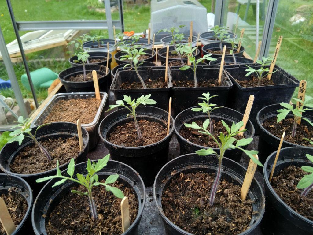 tomaten die verplant zijn.