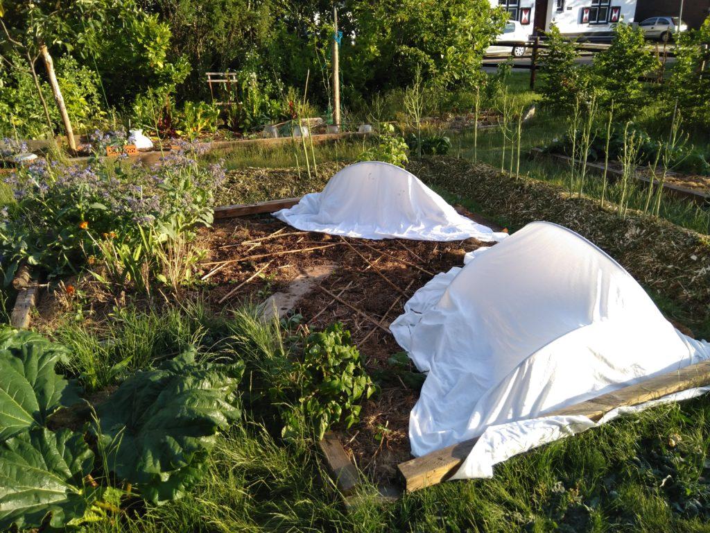 Pompoenplanten onder een beschermende doek tegen de nachtvorst van de ijsheiligen.