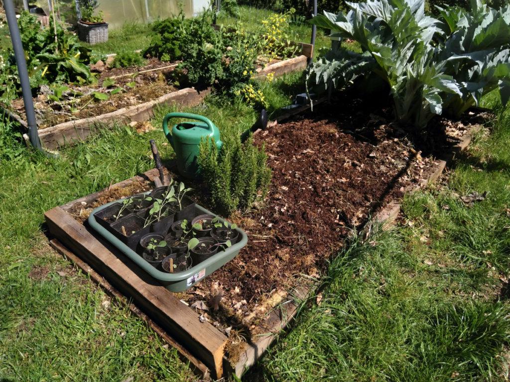 Koolplantjes bij het groentebed waar ze dit jaar komen te staan.