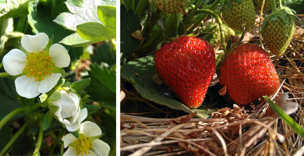 Aardbeibloem en twee aardbeien aan de struik.