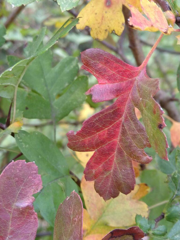 Meidoorn blaadje in herfstkleuren.