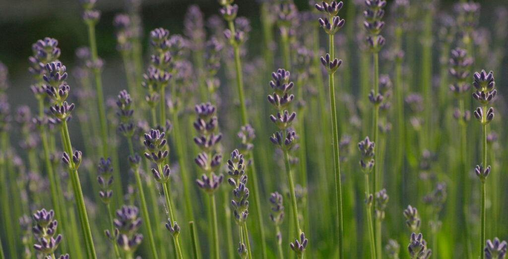 Lavendelbloemen met tegenlicht.