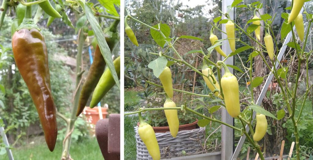 Pepers aan de plant in de kas.