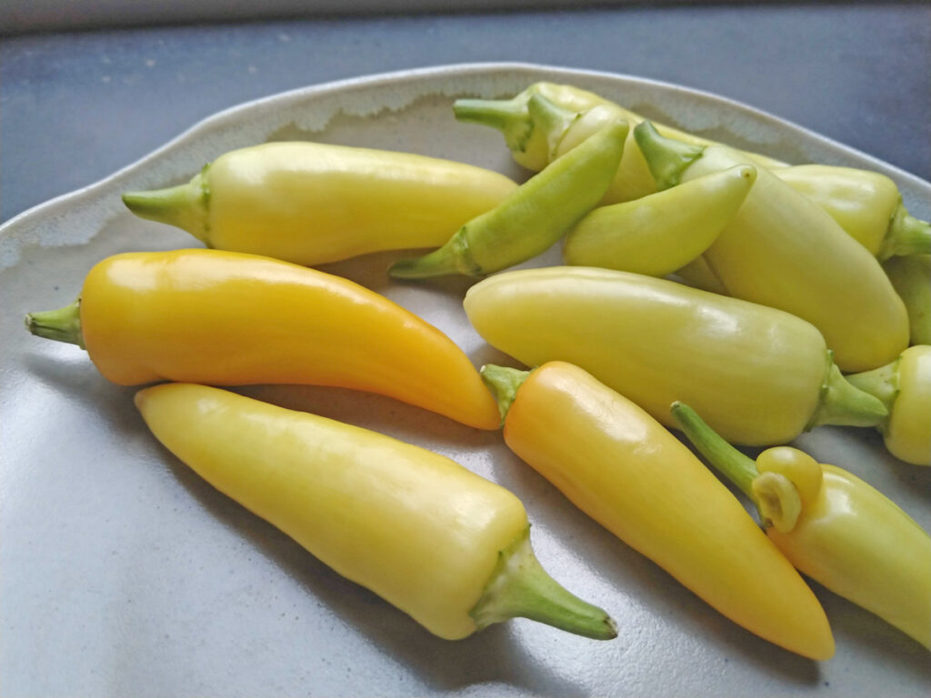 Net geoogst uit de kas de gele peper Caloro.