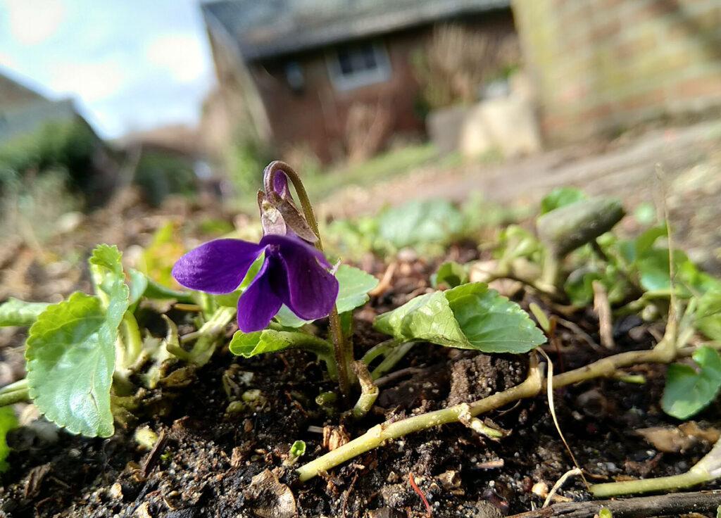 Maarts viooltje met wortelsstokken. Viola odorata.
