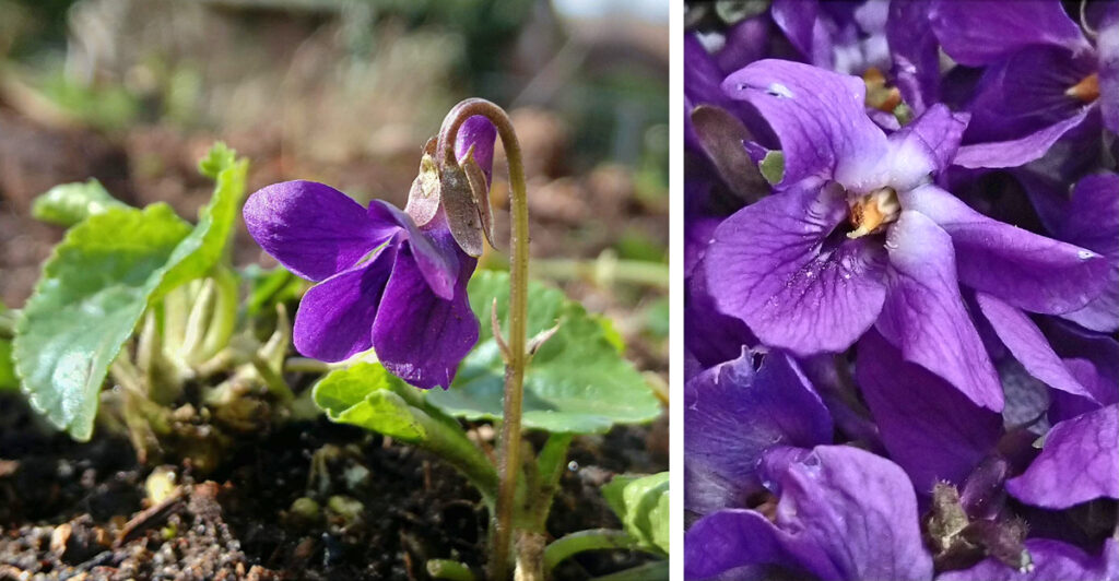 Close up van maarts viooltje, Viola odorata.