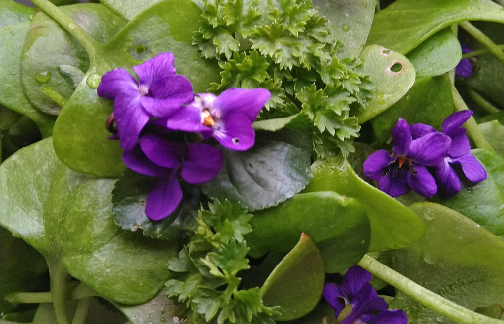 Maarts viooltje in de winter postelein salade.