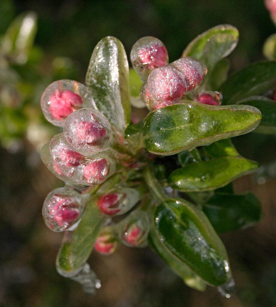 Appelbloesem bedekt met een beschermende ijslaag.