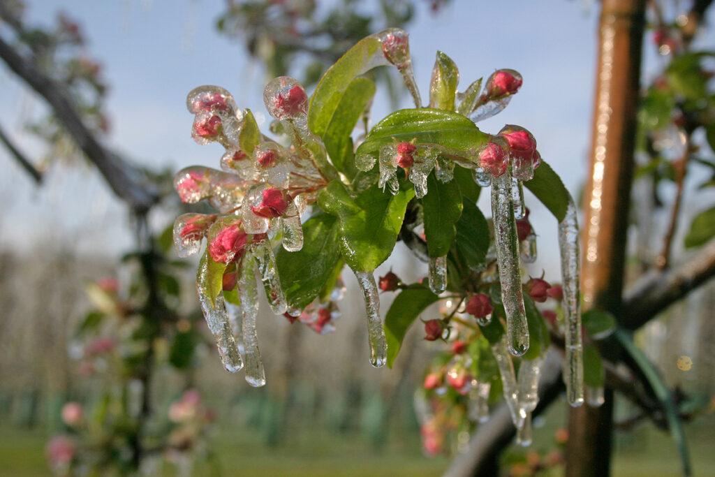 Water nevel bevroren op appel bloesem.