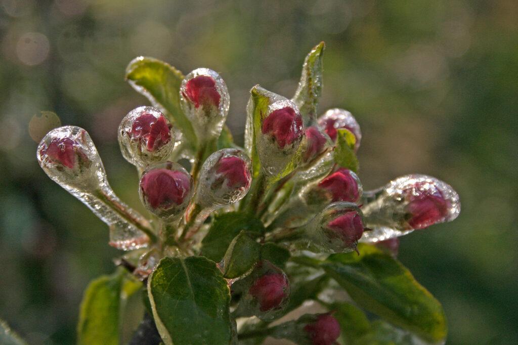 Bevroren water op appelbloesem