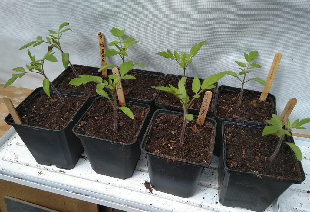Tomatenplantjes na 6 weken.